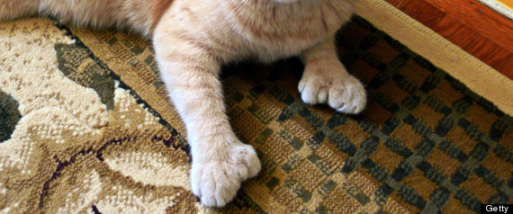 r-POLYDACTYL-CAT-large570